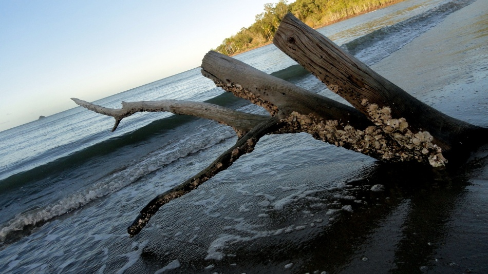 Barnacled Beach Log - Kewarra