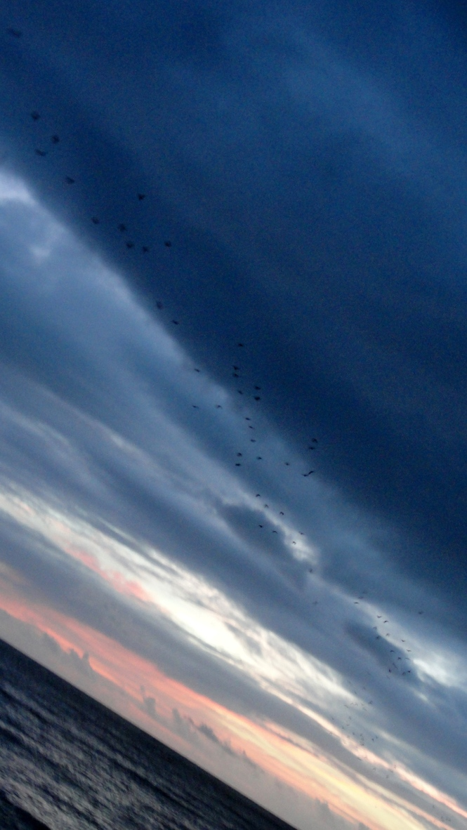 Fruit Bat Migration - Trinity Beach
