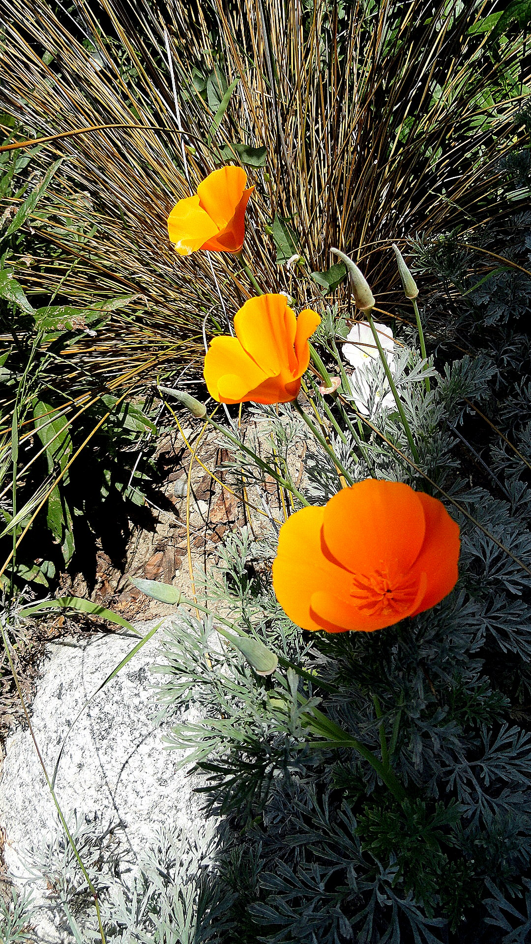California Poppies - LB Aquarium