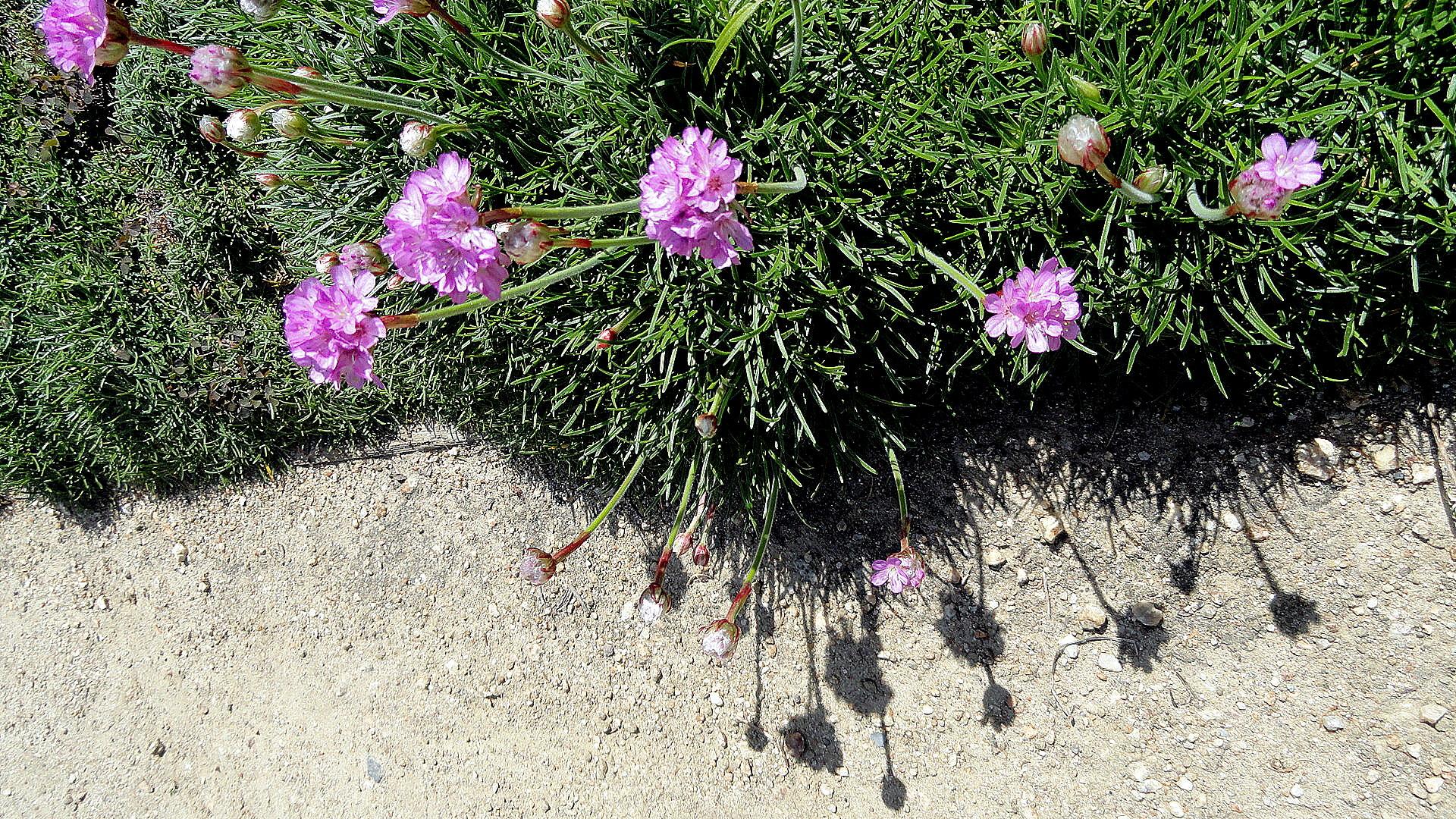 Getty Villa Herb Garden - Chive Flowers