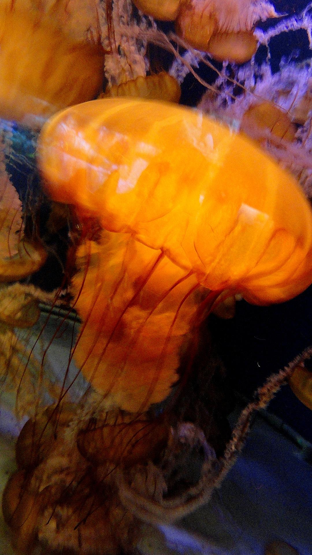 Jellyfish aka Marine Stinger - LB Aquarium