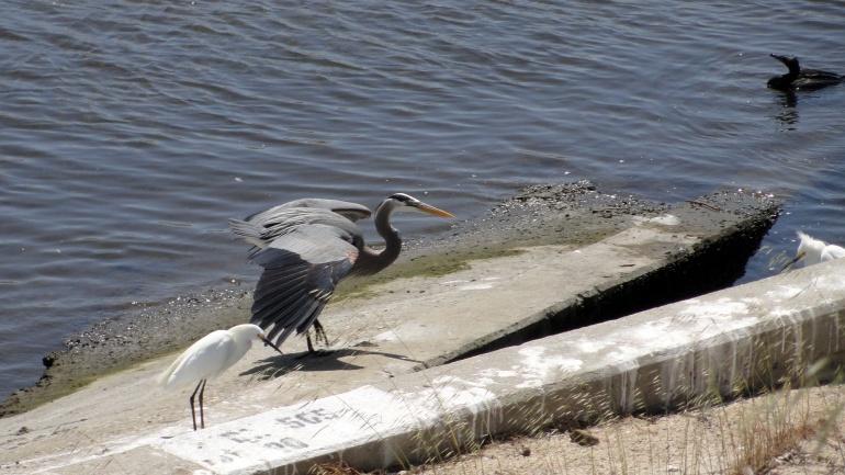 Ballona Creek - Heron