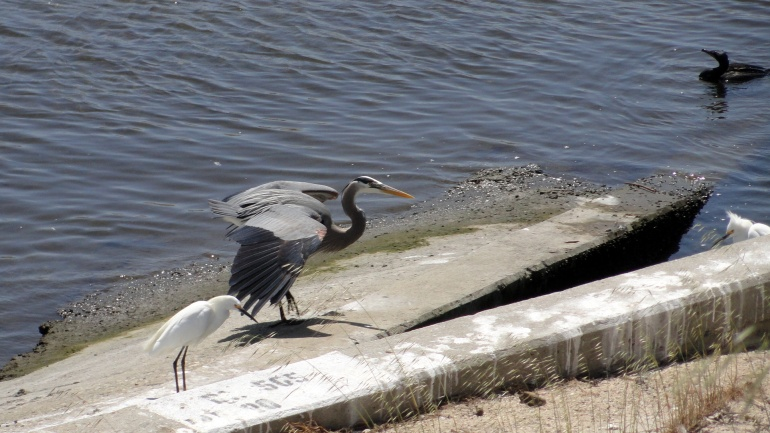 Ballona Creek - Heron