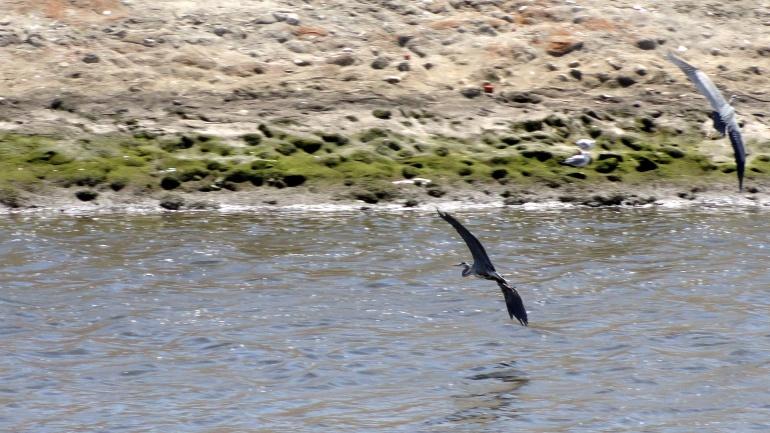 Ballona Creek - Herons in Flight