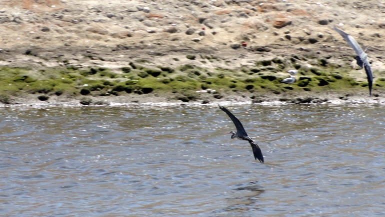 Ballona Creek - Herons in Flight