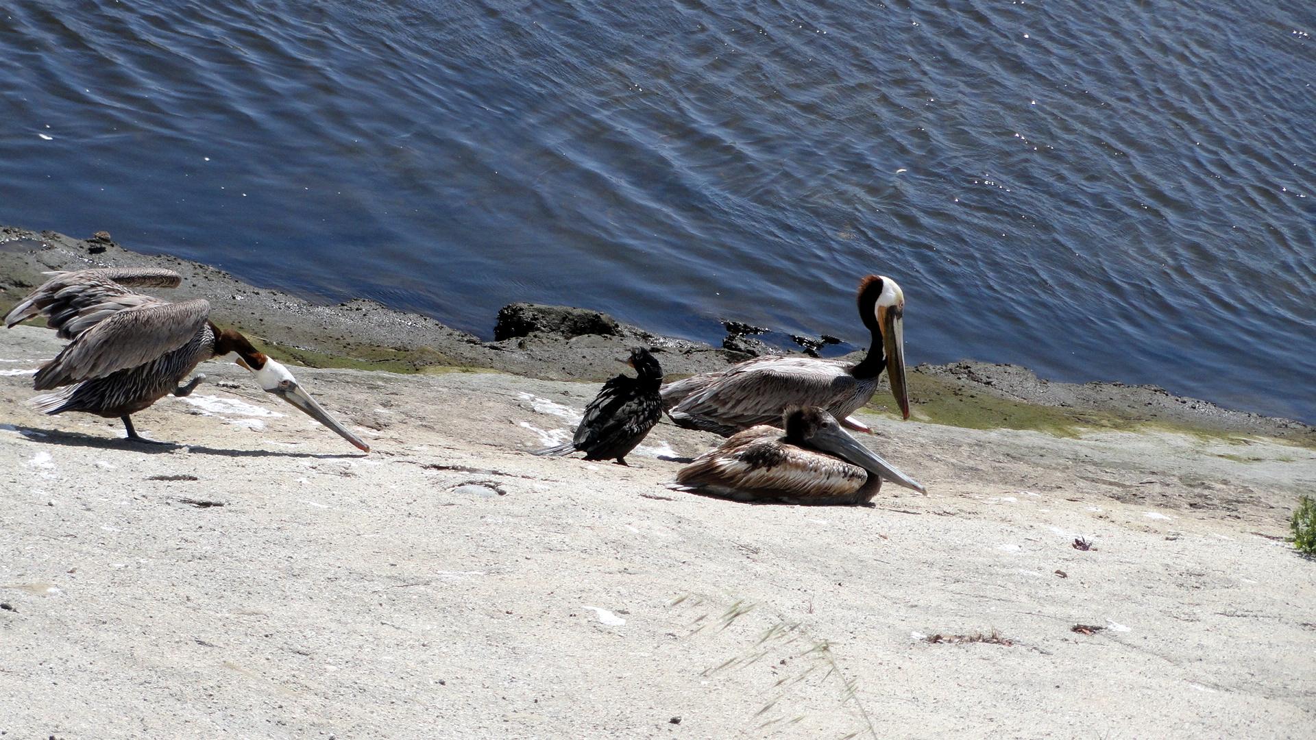Ballona Creek - Pelicans