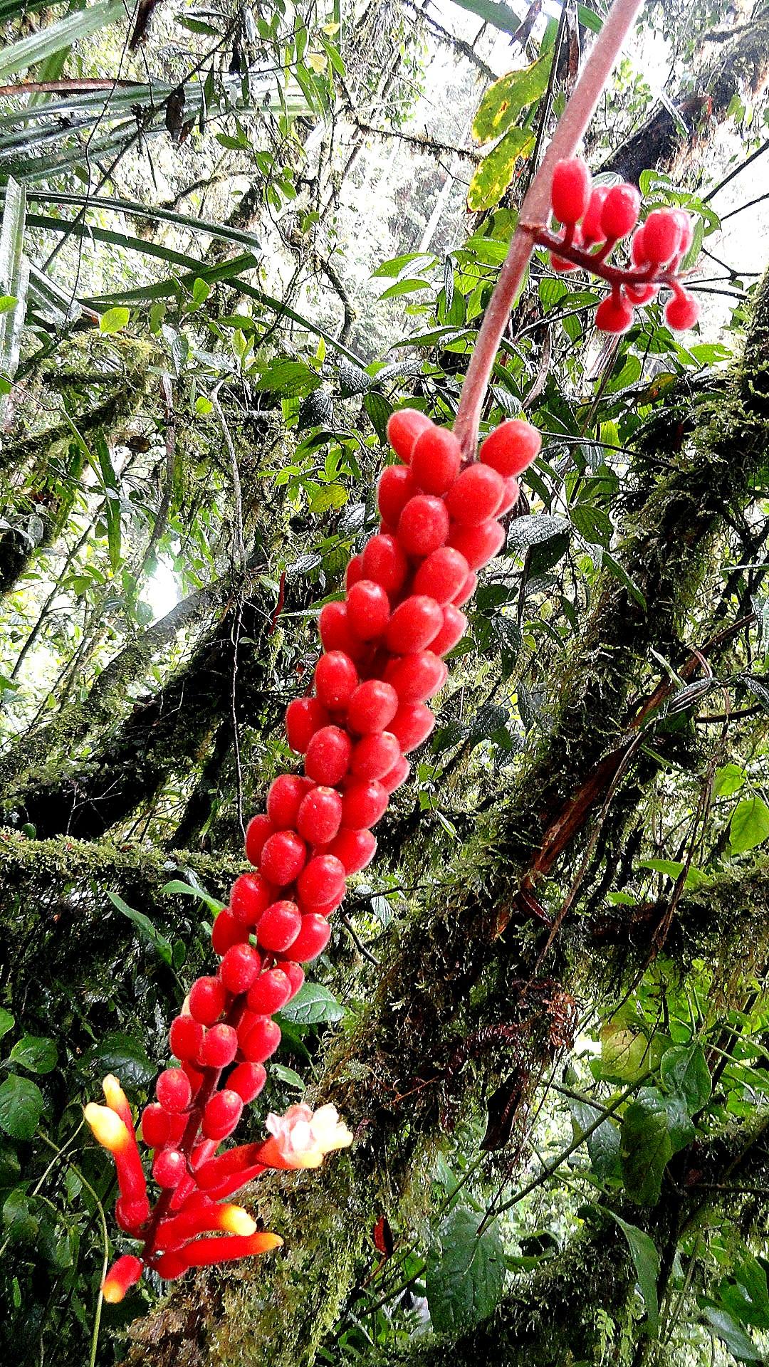 Ambua - Berries & Mossy Trees