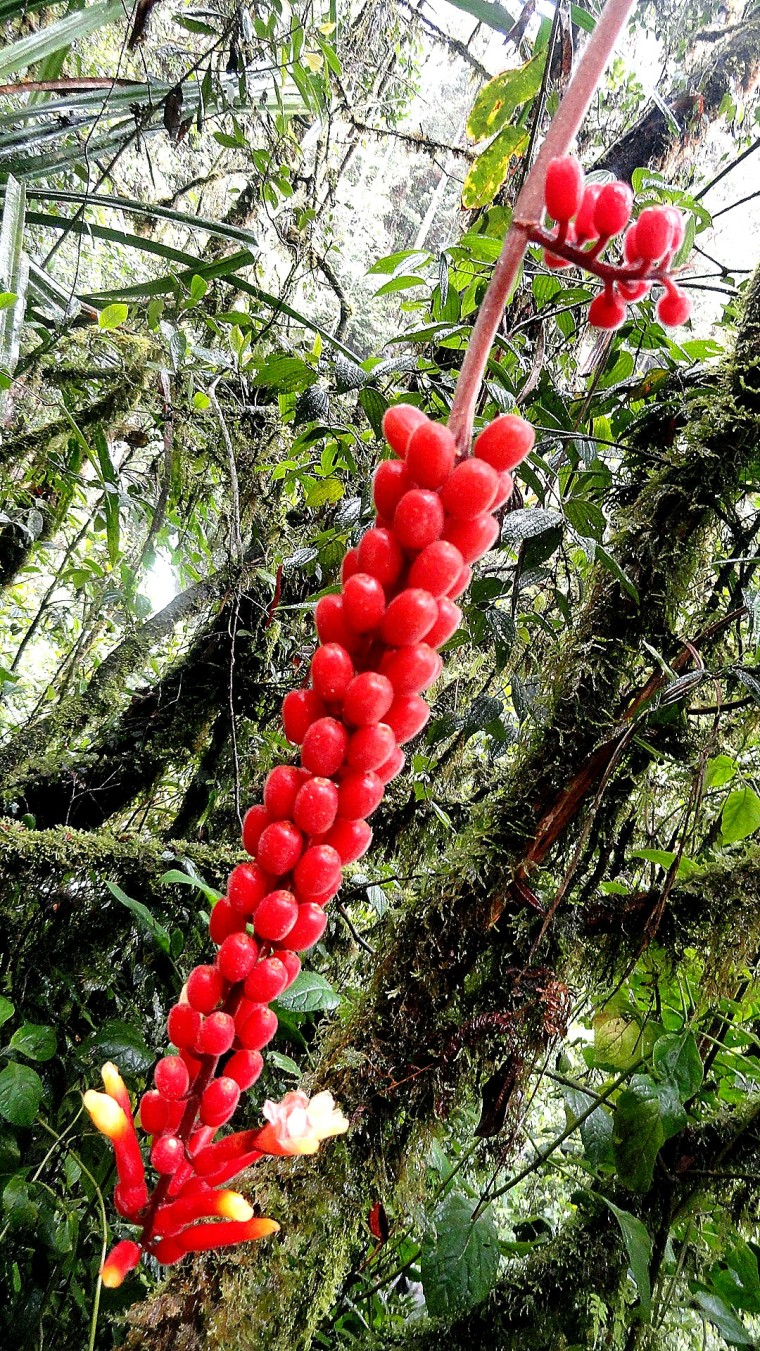 Ambua - Berries & Mossy Trees