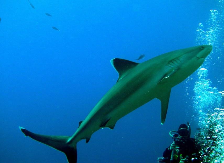 Shark - Diver - Bubbles
