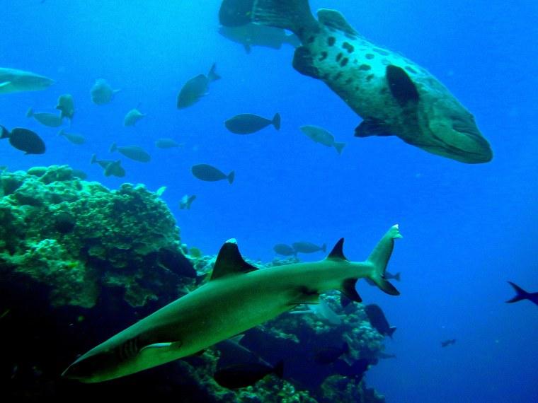 Shark & Potato Cod