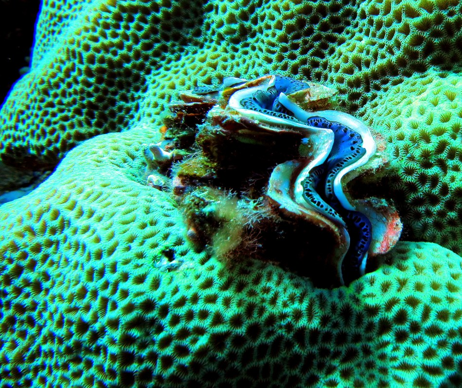 Giant Clam in Brain Coral