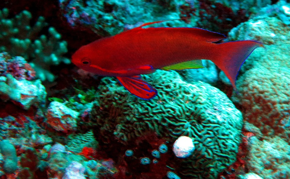 Red Fish & Coral