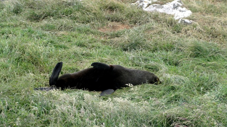 Fur Seal Lounging