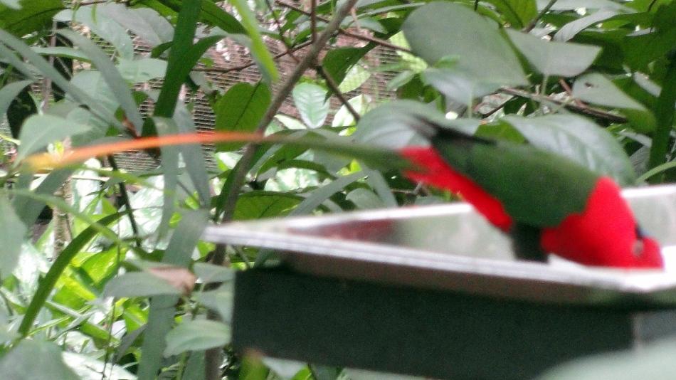 Bird of Paradise w Tail