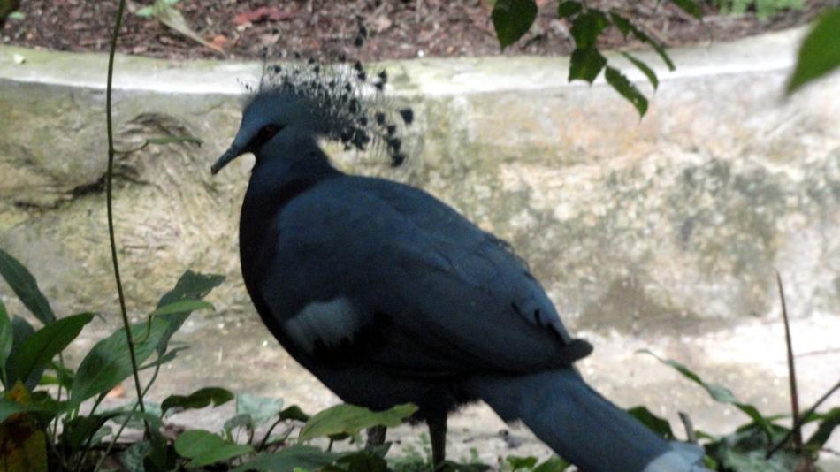 Showy Pigeon