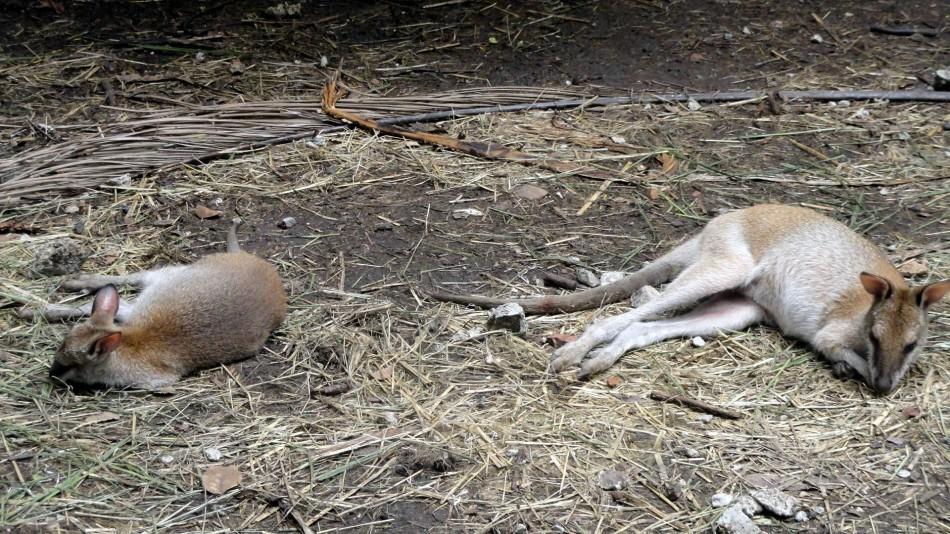 Wallabies Relaxing