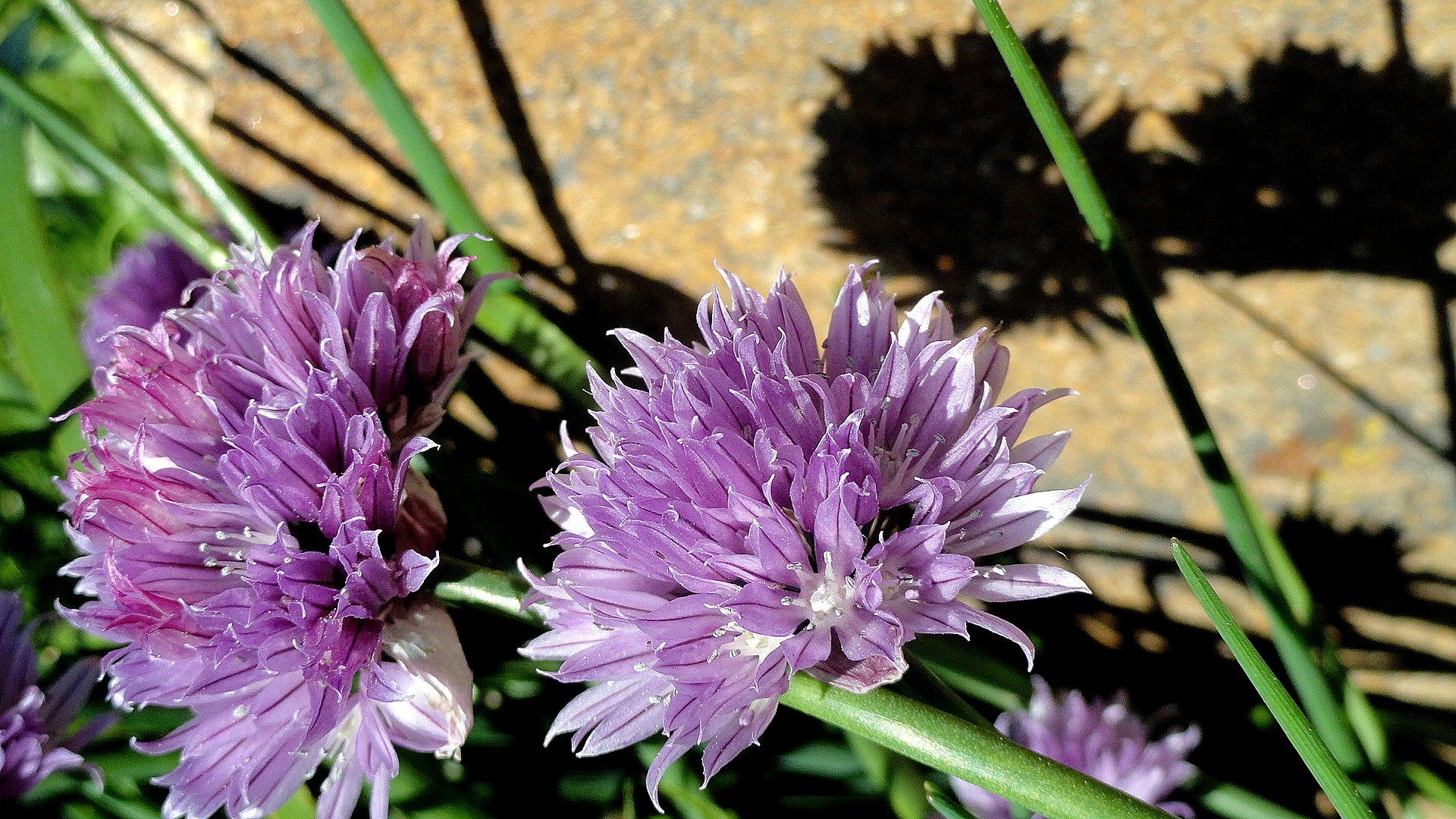Chive Blossoms & Stone Wall
