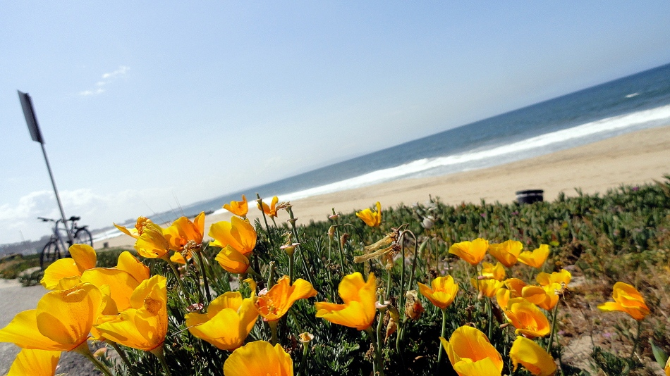 Coast - Cal Poppies & Catalina Island