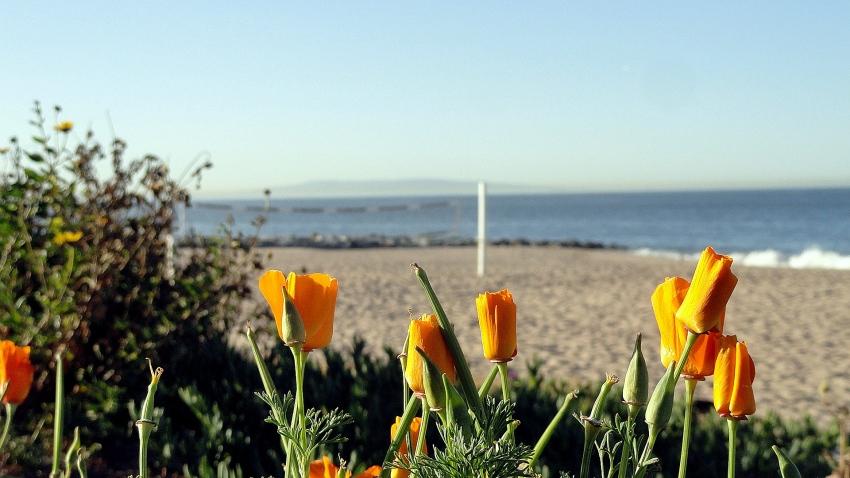 Coast Poppies & Catalina