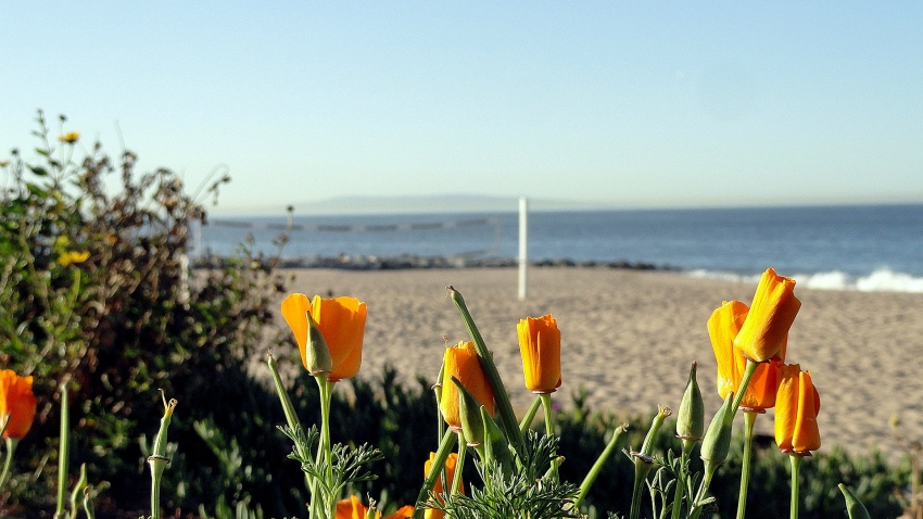 Coast Poppies & Catalina