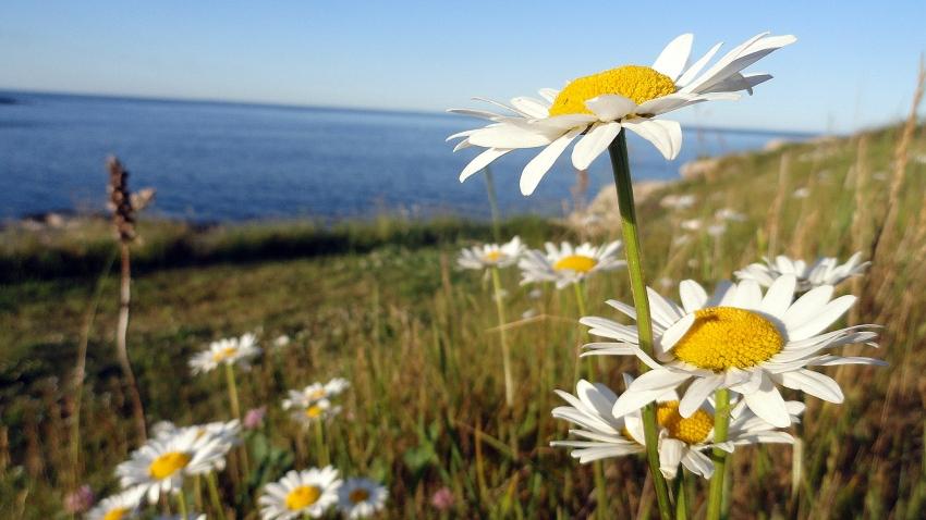 Coastal Daisies