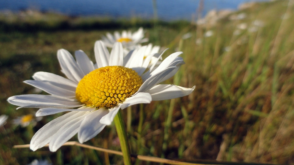 Coastal Daisy