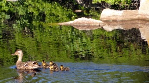 Ducklings & Mother