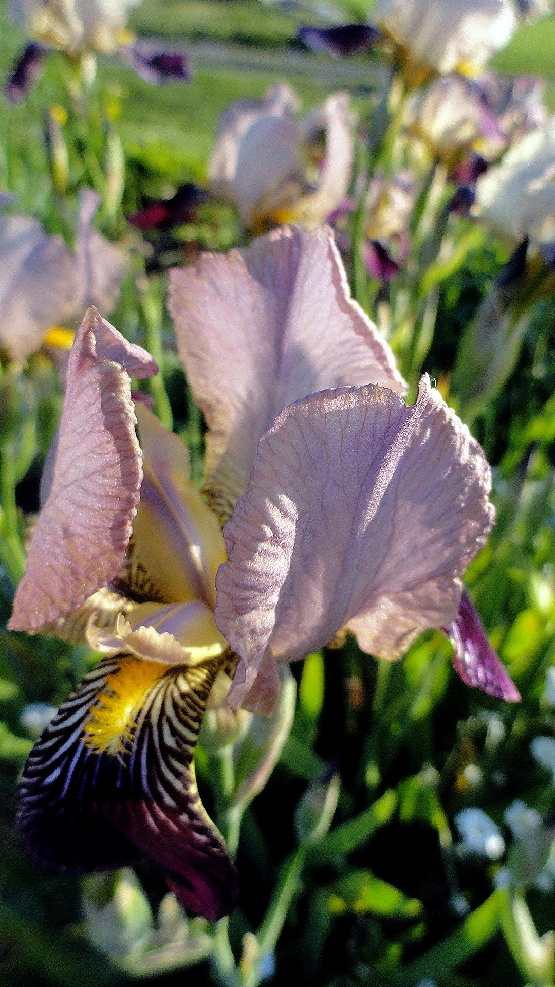 Fading Iris