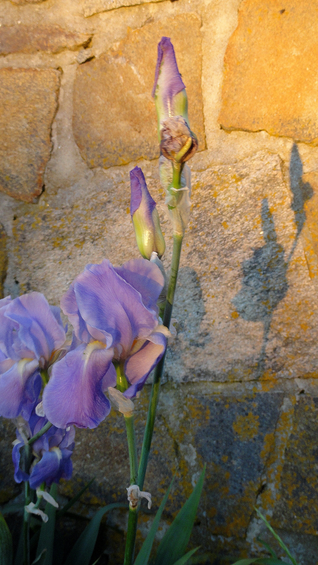 Iris & Stone Wall