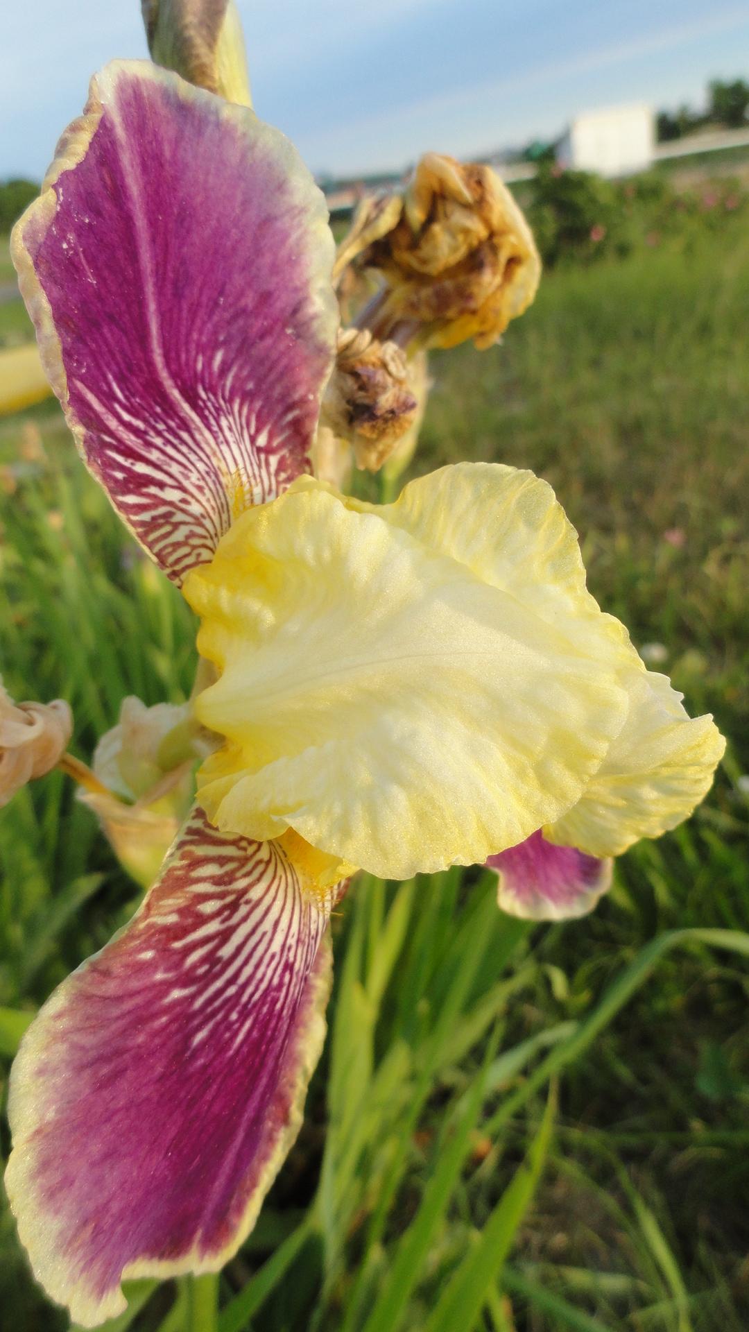 Purple-Yellow Iris