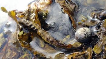 Shell - Snail Lowtide