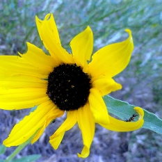 Black-Eyed Susan - NE Prairie
