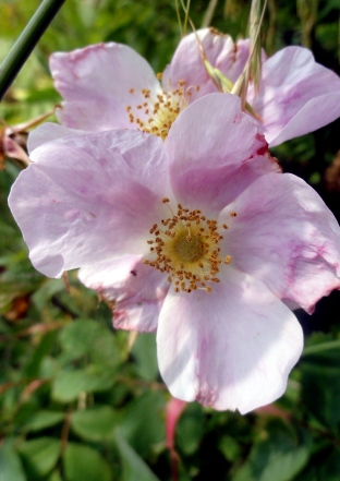 Marsh Rose I think