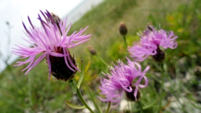 Thistles by Lake Michigan