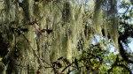 Spanish Moss on Bennet ValleyTree