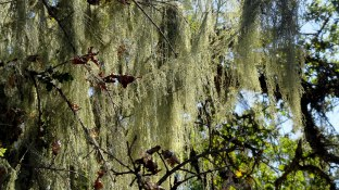 Spanish Moss on Bennet Valley Tree