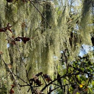 Spanish Moss on Bennet Valley Tree