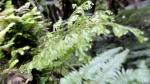 Ferns at LakeMatheson