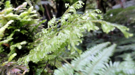 Ferns at Lake Matheson