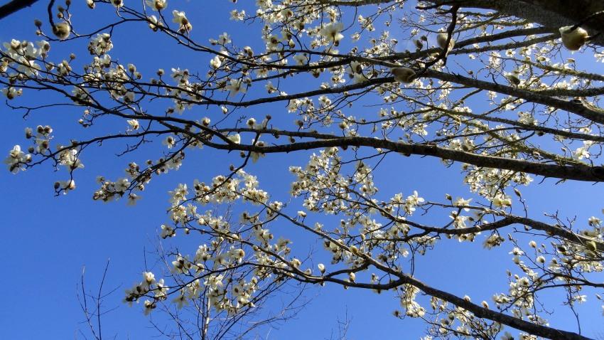 Flowering Trees & Sky