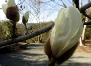 Magnolia Buds Quarryhill