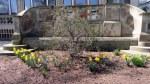 Daffodils at Frick MansionPittsburgh