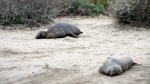 Elephant Seal 5