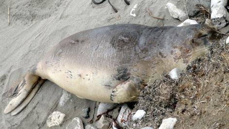 Elephant Seal 8