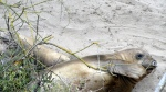 Elephant Seal Juveniles1