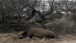 Elephant Seal Newborn & Mom1