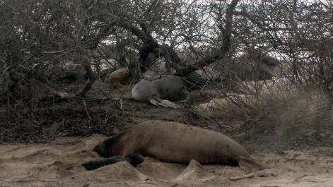 Elephant Seal Newborn & Mom 1
