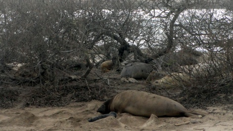 Elephant Seal Newborn & Mom 2