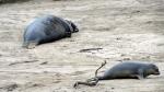 Elephant Seal Weaner Beaching5