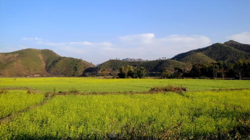 Mustard Fields Outskirts of CCpur